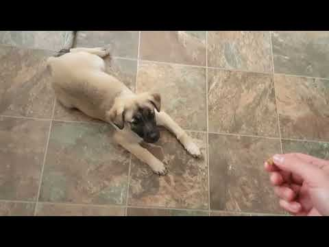 3 month old Anatolian shepherd puppy doing tricks