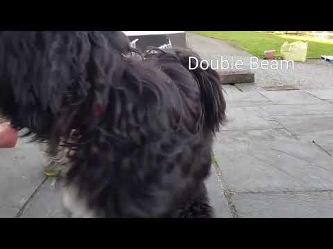 Pebbles-Tibetan Terrier  Expert Tricks