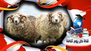 قصة حقيقية امرأة تشترى خروف العيد و عند تنظيف بطنه تجد ما لا يتوقعه أحد - حدث بالفعل
