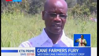 Western Kenya Sugarcane farmers begin uprooting canes