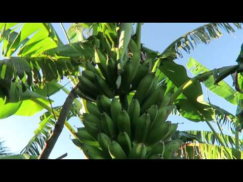Visiting organic Tropical fruit farm in Spain