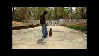 Android The Malinios Advanced Obedience. Master Christian Dog Training Atlanta