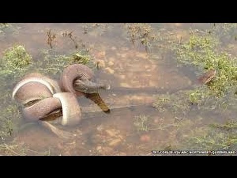 EPIC ANIMAL FIGHT - Snake EATS Crocodile in Battle at Australian Lake. CRAZY IMAGES