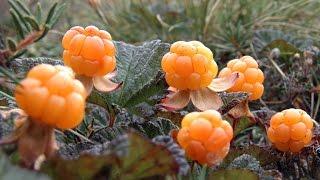 Сезонная работа в Финляндии. Что это такое? Cбор дикорастущих  ягод в Финляндии.