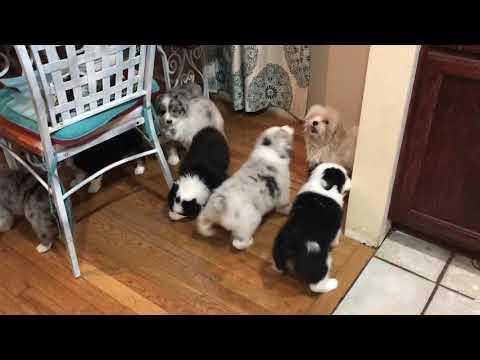 Australian Shepherd puppies herding