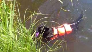 Diving Border Collie X German Shepherd Mix Dog