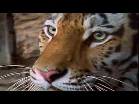 Nature's Perfect Predator, the Tiger