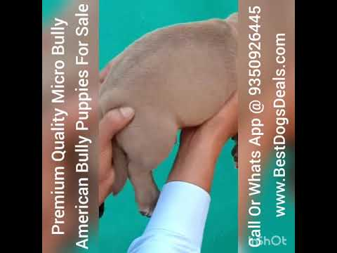 American Bully Micro Size Puppies For Sale 9350926445