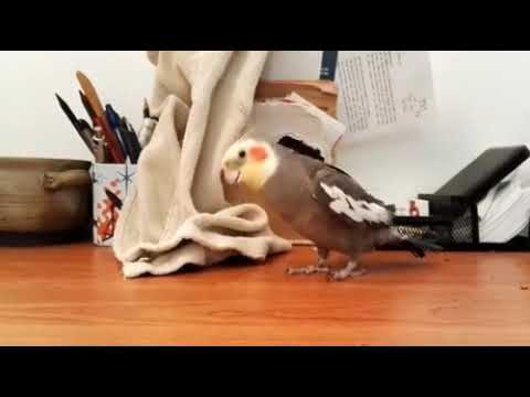 This Bird Can Sing THE ADDAMS FAMILY Theme Song Perfectly