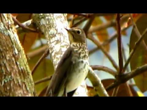 Slaty-backed Nightingale-thrush - Catharus fuscater - Bird migration- Vogelzug
