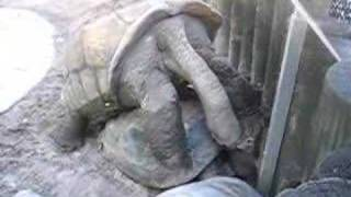 Giant Turtles making love...