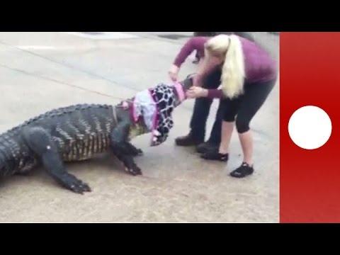 Woman restrains 800 pound alligator in mall car park, Texas