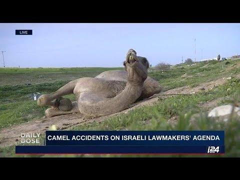 CAMEL ACCIDENTS IN NEGEV DESERT