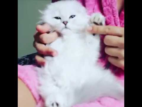Scottish Fold Cats are Like Jelly