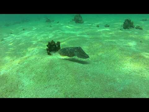 Cuttle Fish Near FiFi in Bahrain