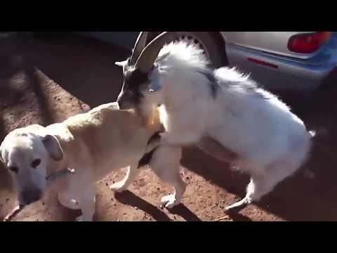 LUCU Kambing Kawing dengan Anjing
