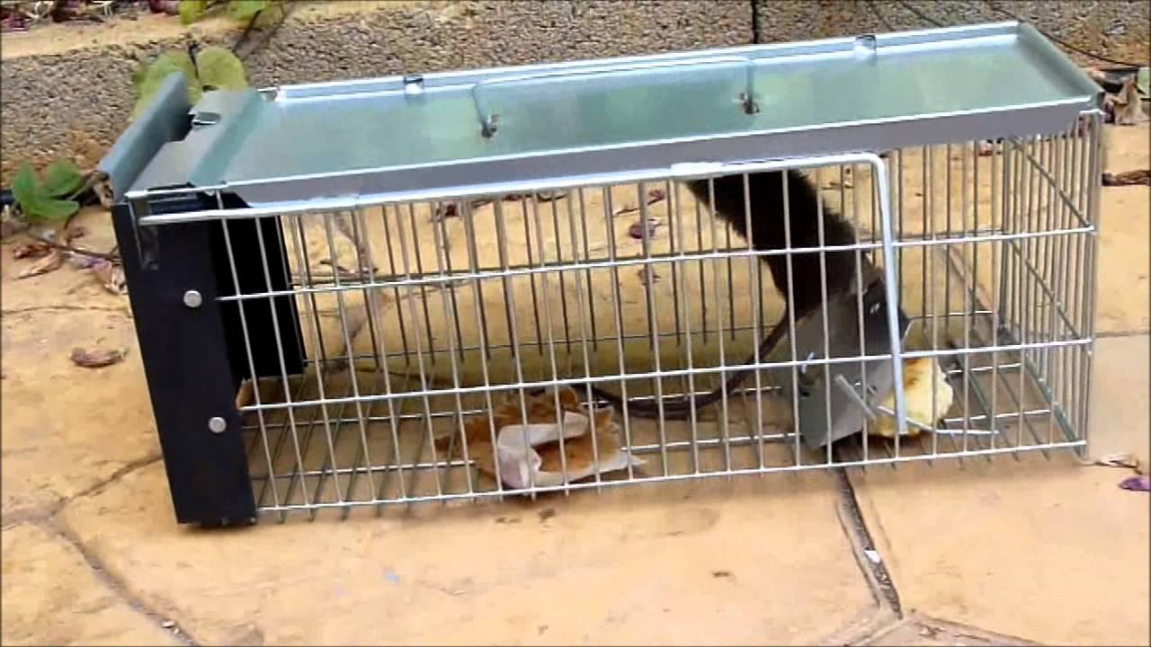 Jaula Trampa para Ratas - YouTube