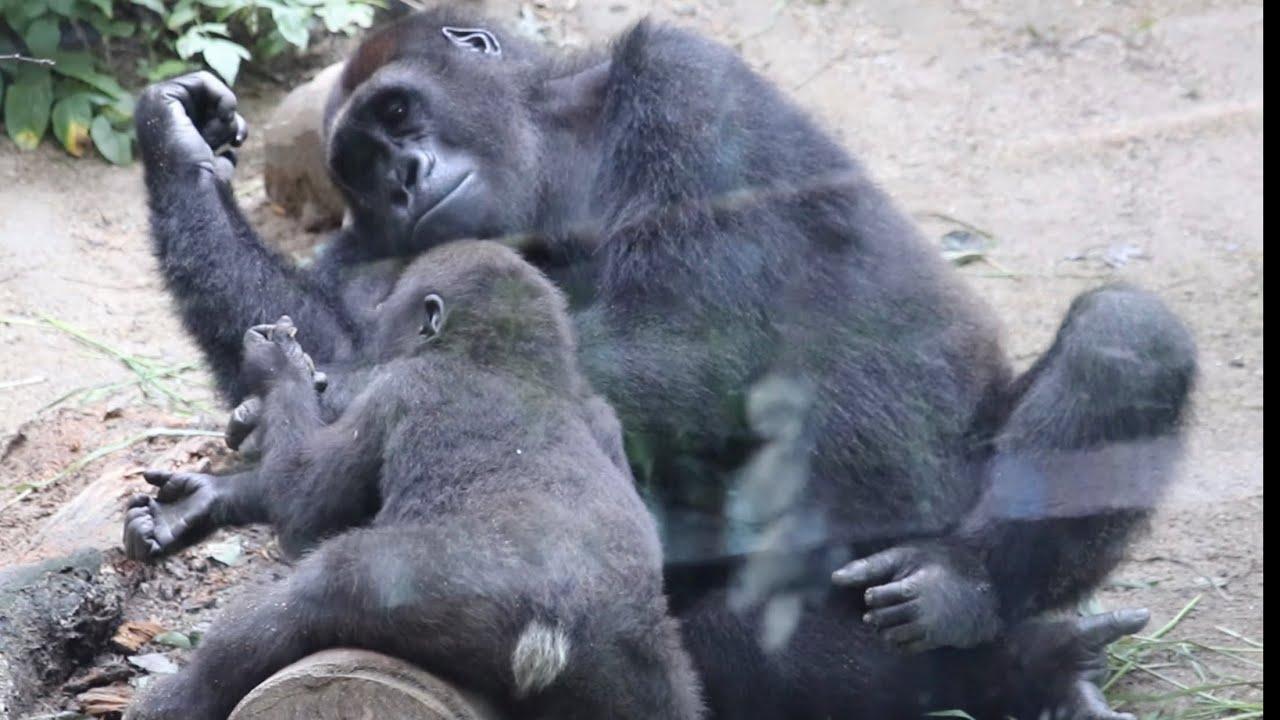 2人の息子達はゲンキの大切な宝物⭐️ゴリラ Gorilla【京都市動物園】The two sons are treasures of  mother Genki.