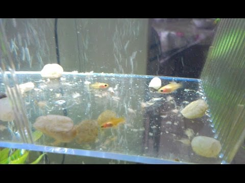 Feeding Baby Platy Fish!