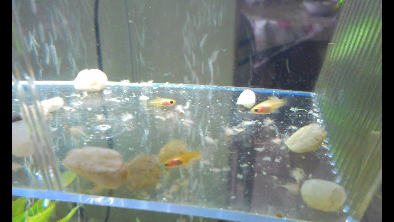 feeding baby platy fish youtube