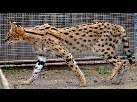 TOP 10 BIGGEST CAT BREEDS IN THE WORLD