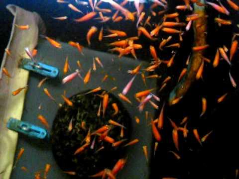 Feeding brine shrimps to baby koi youtube for What to feed baby koi