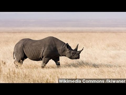 Black Rhino Hunting Permit Auctioned For $350K