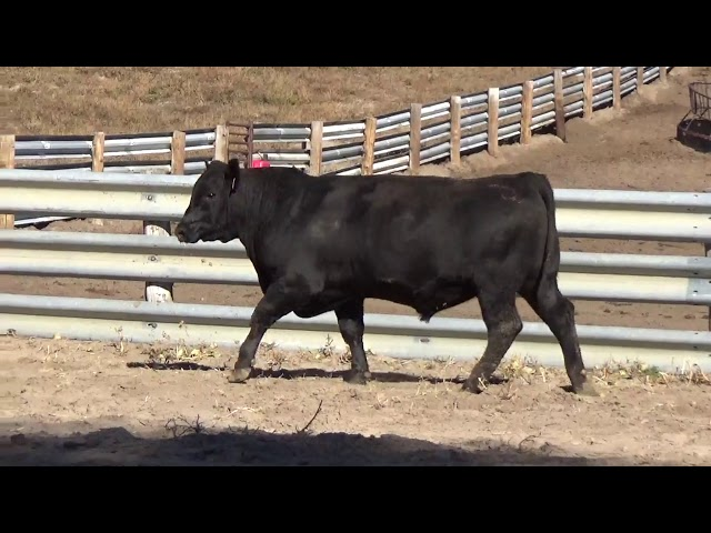 Connealy Angus Lot 60