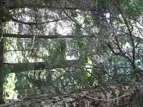 Pileated Woodpecker call