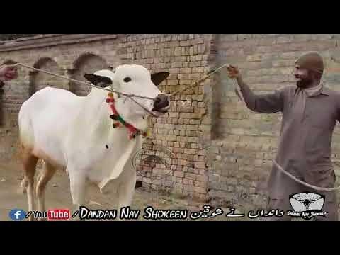 Big Beauty Of Haji Usman || For Home Qurbani 2020 || Sold From  Malik Awan Cattle Talagang