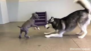 Try Not To Laugh!! Cute and Funny Husky Puppies Compilation