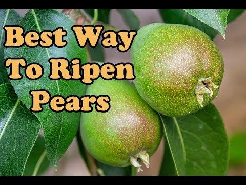 How Ripen Pears