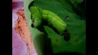 How Fast Does Caterpillar Eat?... Small Creature, Big Eater. Watch this...