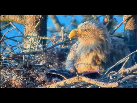 Smola Norway Eagles Nest Cam ~ Closeups of Baroness Feeding Her Baby 5.4.17