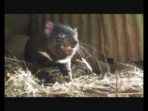 Tasmanian devil growls