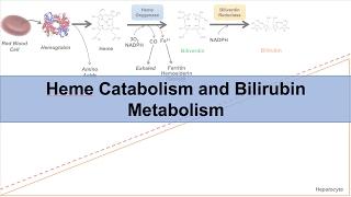 Heme Catabolism and Degradation Pathway - Biochemistry Lesson