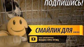 Новые игрушки для сороки и галки, ворона и собака вместе  | Про птиц | БСВPlus