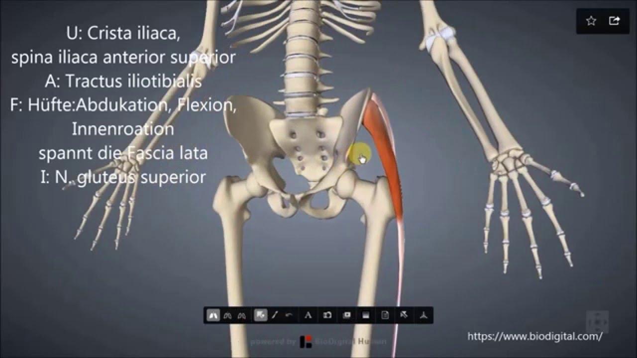 M. tensor fasciae latae - YouTube