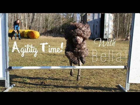Agility time! | Portuguese Water Dog