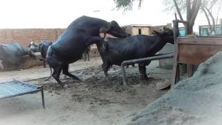 Largest Buffalo Animal Mating Video