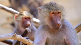 Baboon Couple Sues National Geographic For Distributing Private Sex Tape