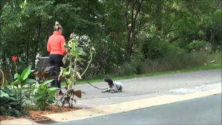 Lilo (german Shorthair Pointer) Dog Training Video Minneapolis