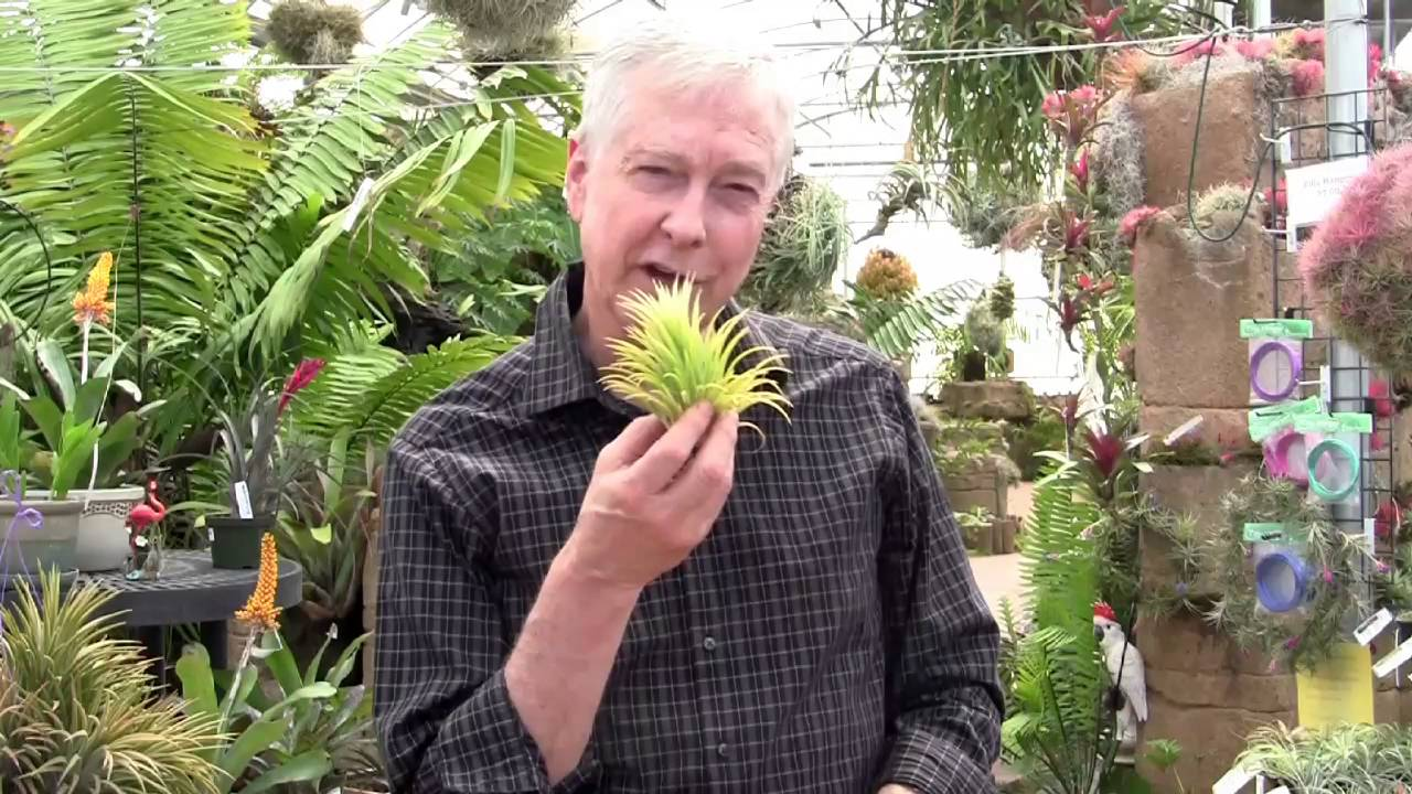 Paul Isley Rainforest Flora Tillandsia Ionantha 1 Forms And