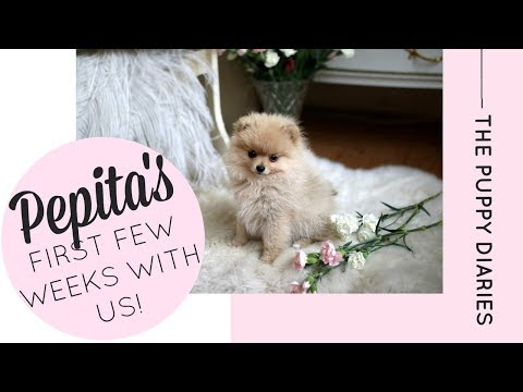 Our Pomeranian Puppy's first visit to the beach! | Katie KALANCHOE