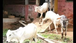 Small Cattle Farm Morh Aimanabad Gujranwala Achhi Tips Dr Ashraf Sahibzada