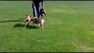 Walks With Bulldog, Boxer And Puppy Dogue De Bordeaux