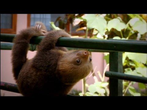 Cute Baby Sloths Learn To Climb - YouTube