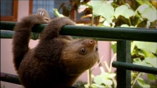 Baby Sloths Learning to Climb