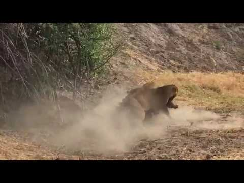 Two Lionesses Fight over a Kill
