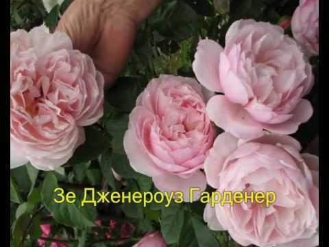 Розы Дэвида Остина.wmv